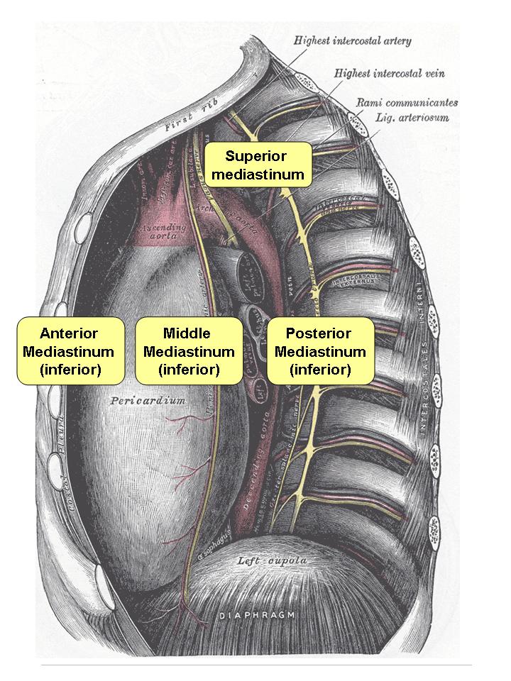 Posterior Mediastinum Mnemonic Contents Proba123