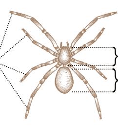 spider anatomy wikipedia spider legs drawing diagram of spider legs [ 1300 x 996 Pixel ]