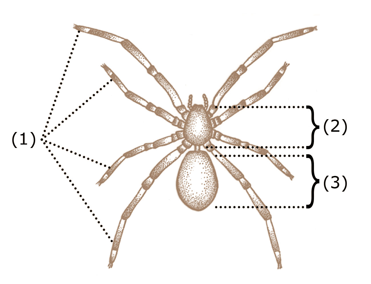 hight resolution of spider anatomy wikipedia spider legs drawing diagram of spider legs