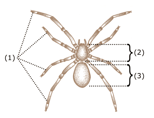small resolution of spider anatomy wikipedia spider legs drawing diagram of spider legs