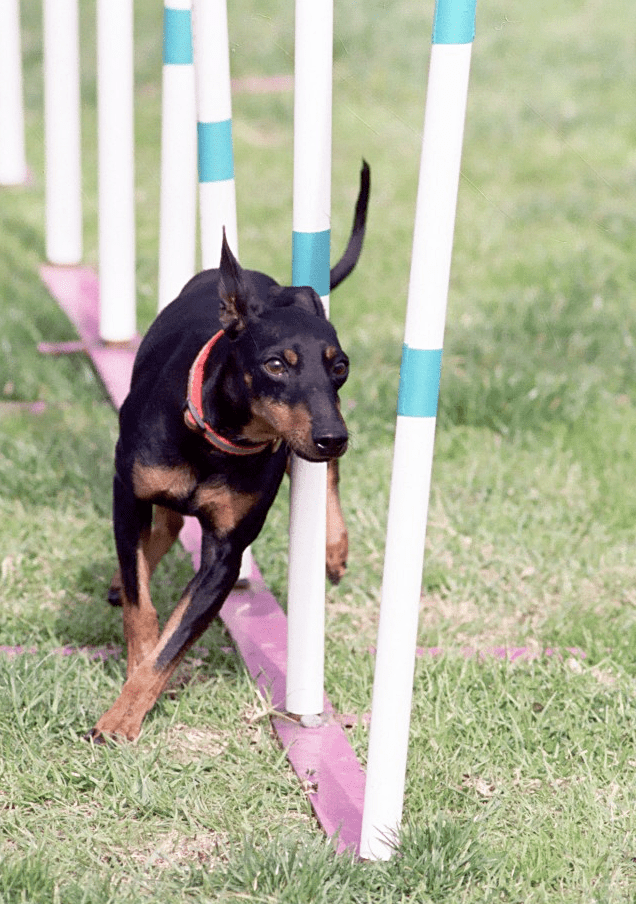 Toy Manchester Terrier  Wikipedia