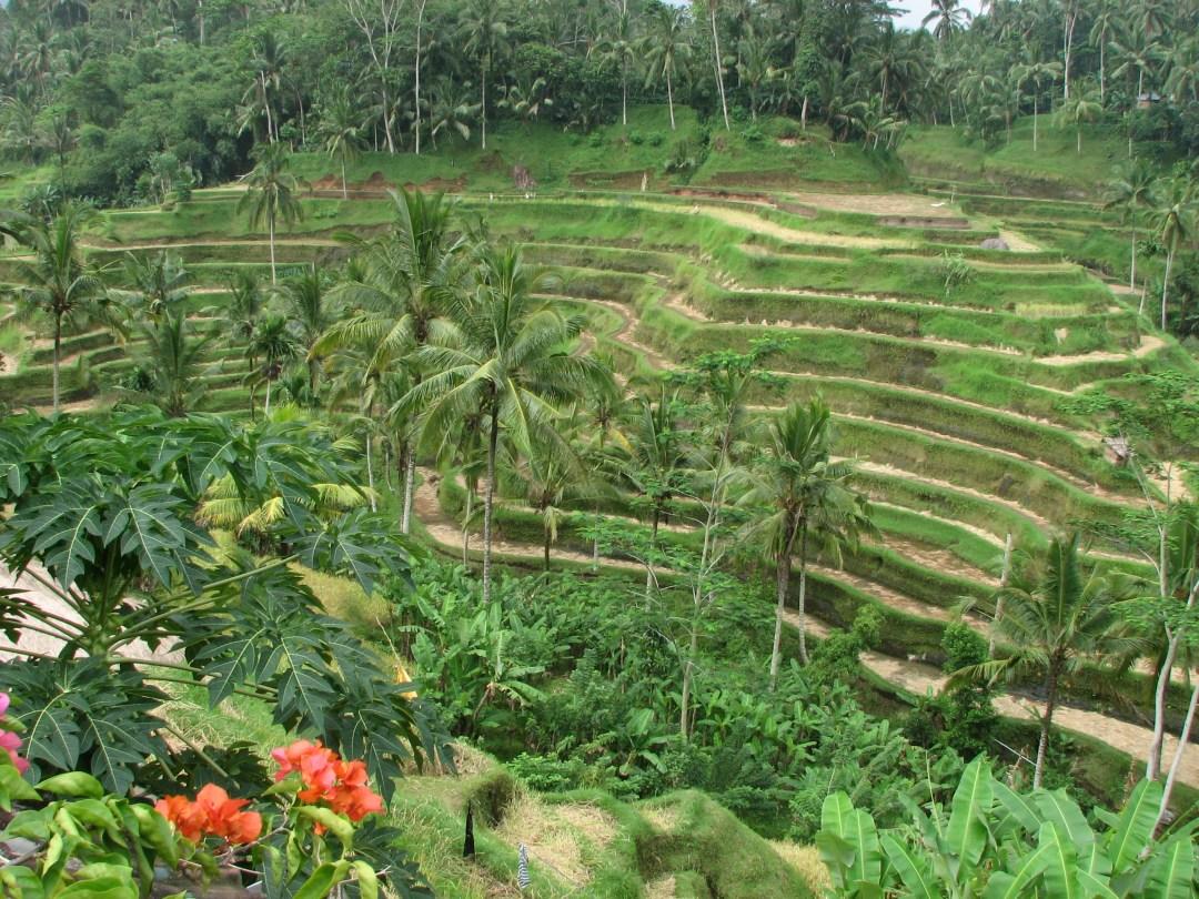 ubud, rice terraces
