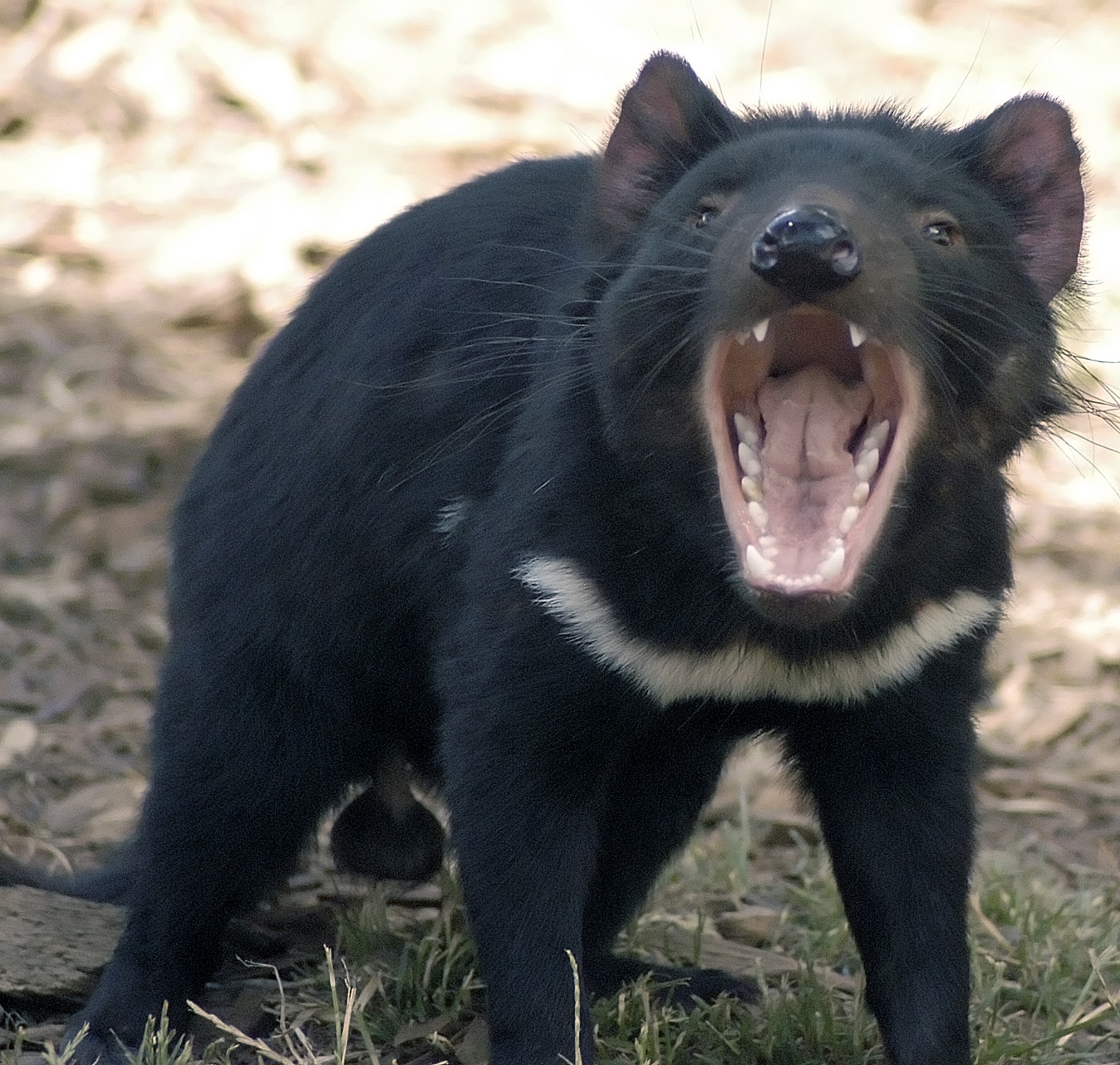 Tasmanian devils are plagued by a contagious facial cancer