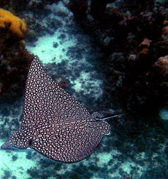 spotted eagle ray [ 2505 x 1670 Pixel ]