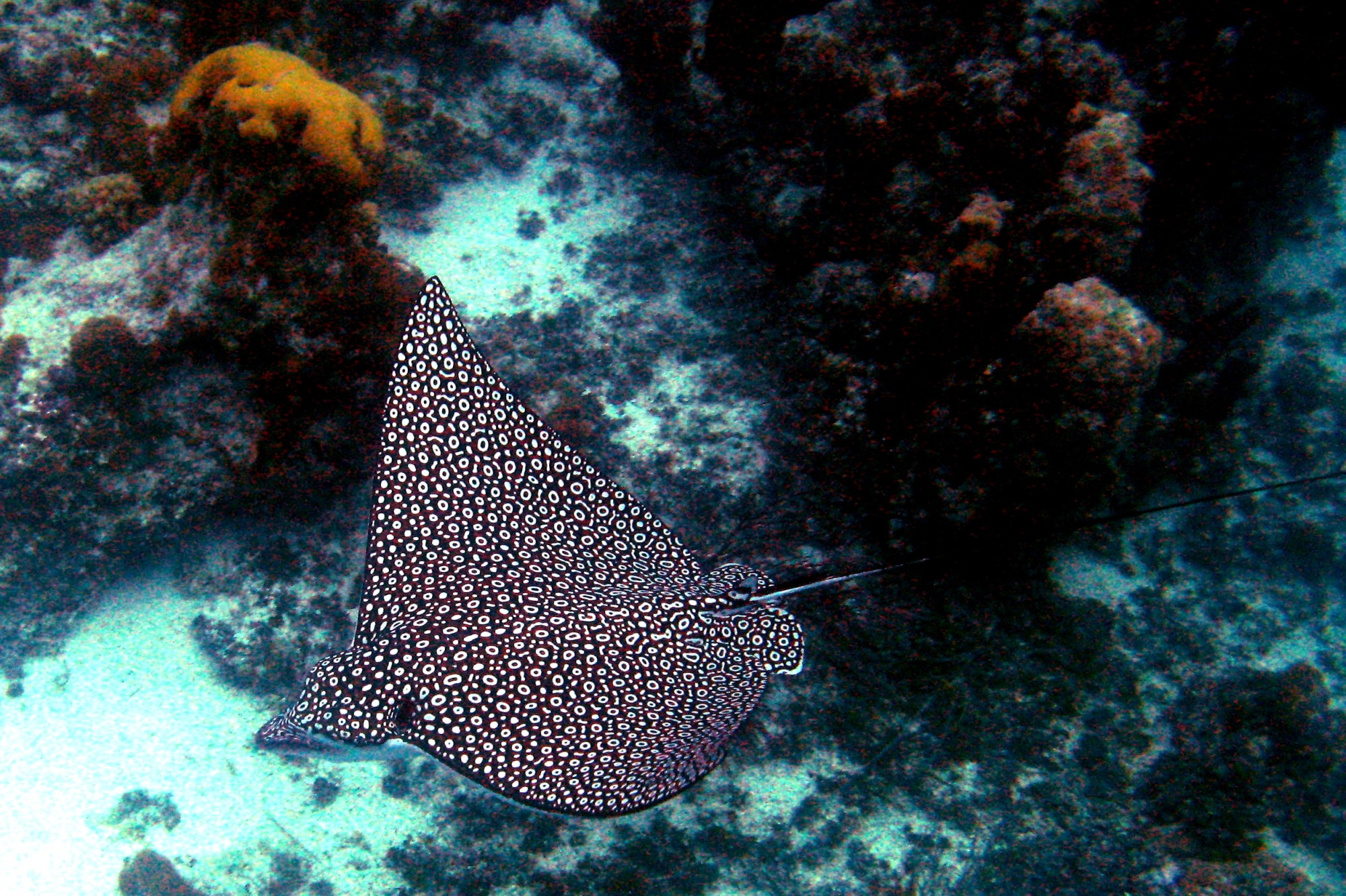 hight resolution of spotted eagle ray