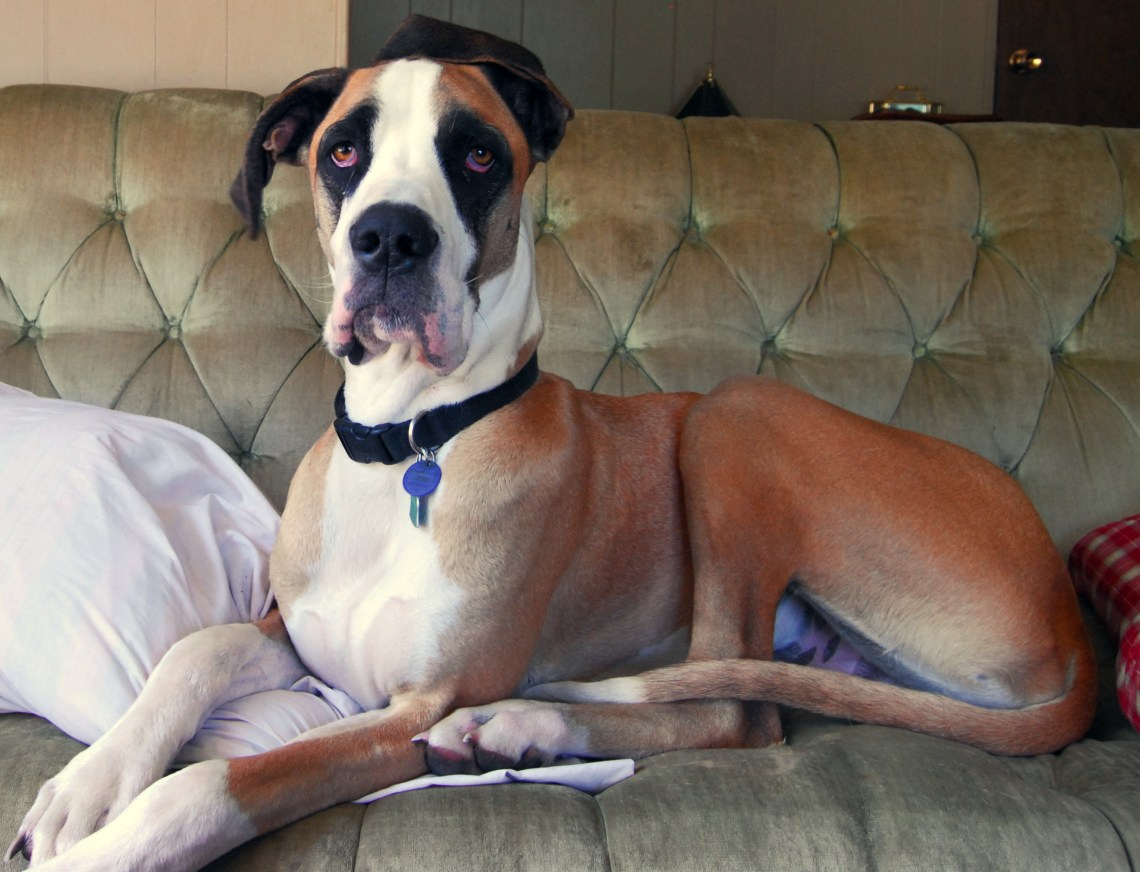 Great Dane fawn mantle couch Cute Pitbull Dogs