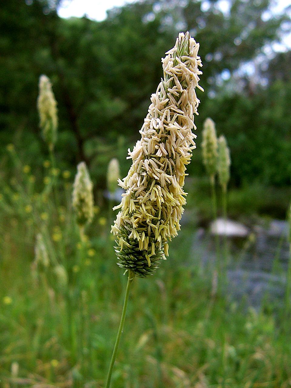 Poaceae - Wikipedia