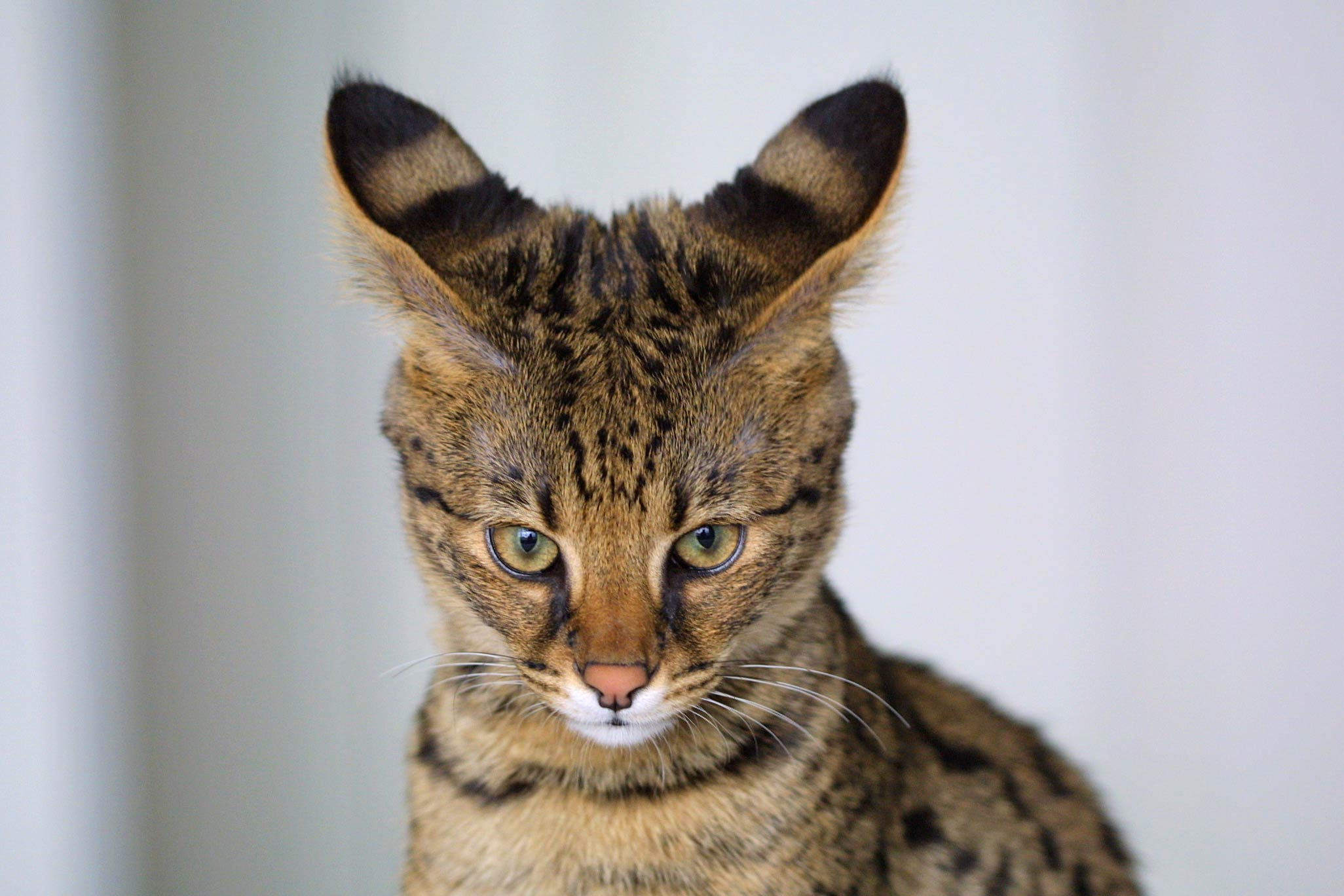 F6 Savannah Cat Full Grown