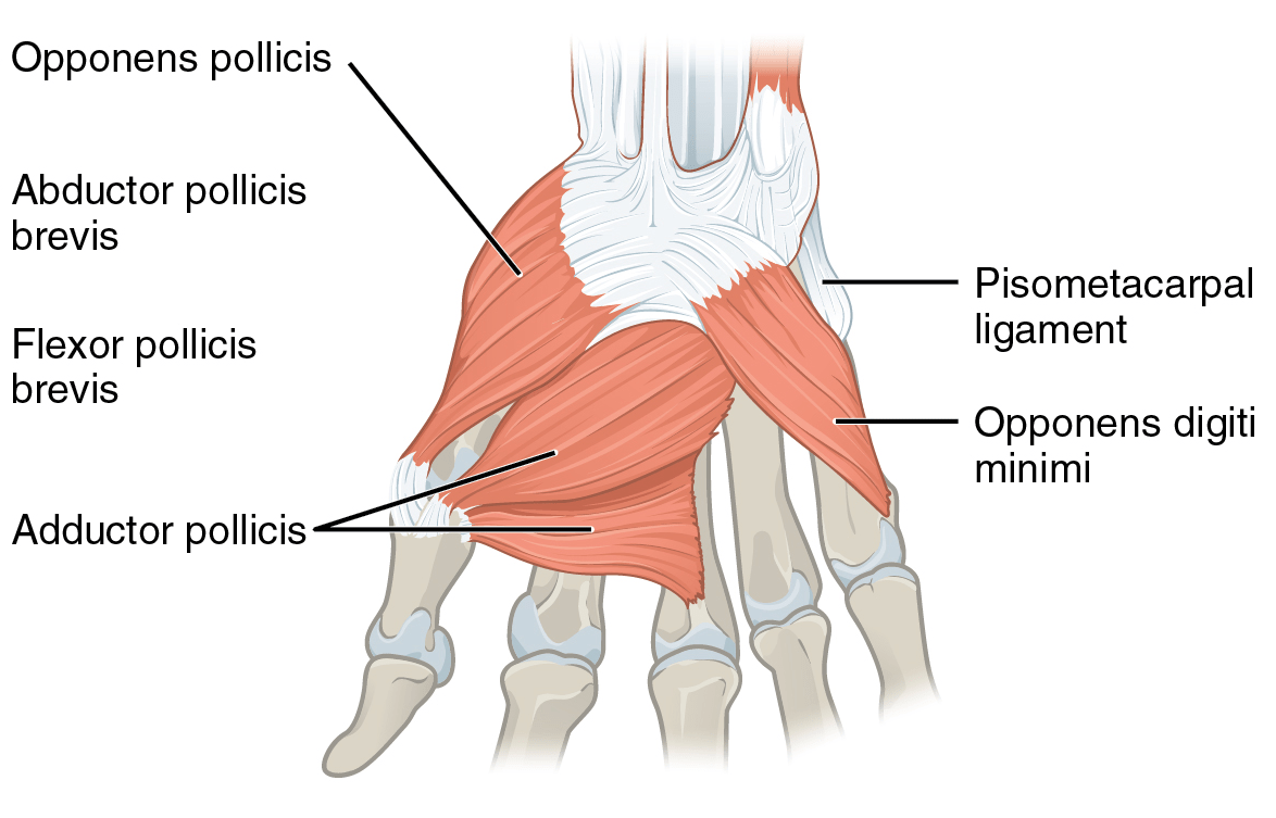 Opponens Pollicis Muscle Wikipedia