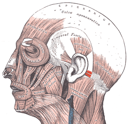 botox facial muscle diagram deer skeleton labeled musculus auricularis posterior – wikipedia