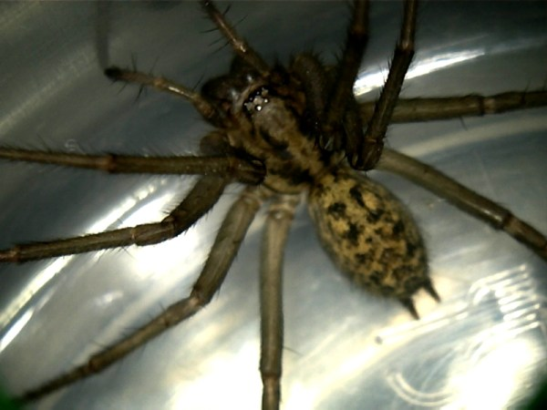 FileHobo Spiderjpg Wikimedia Commons