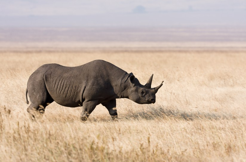 Image result for rhinoceros in tanzania