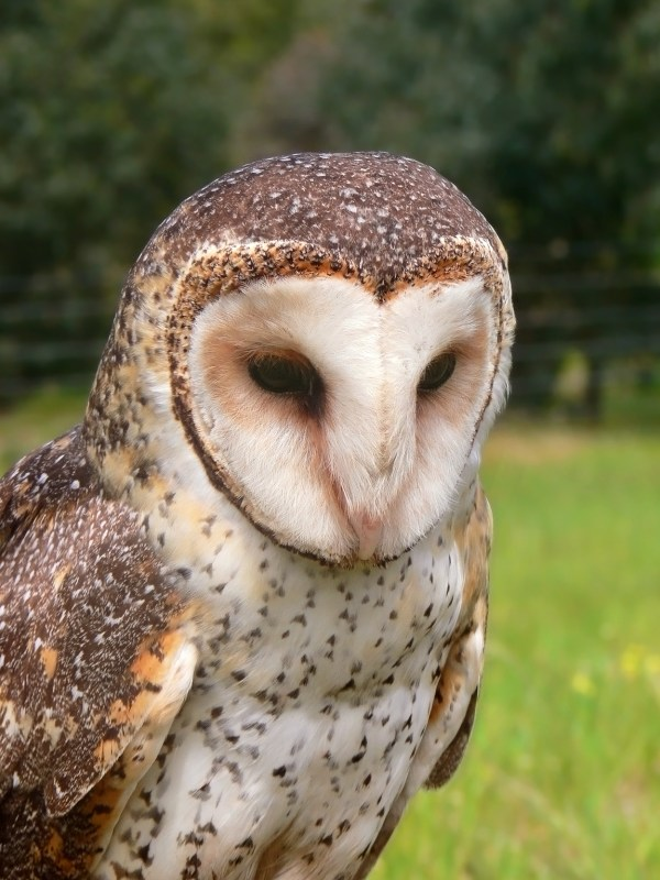 Barnowl Wikipedia