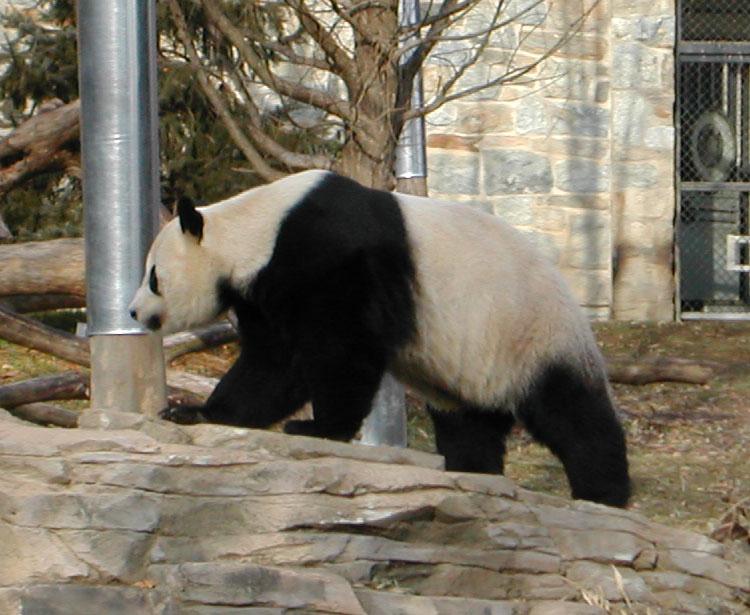 giant panda  Wiktionary