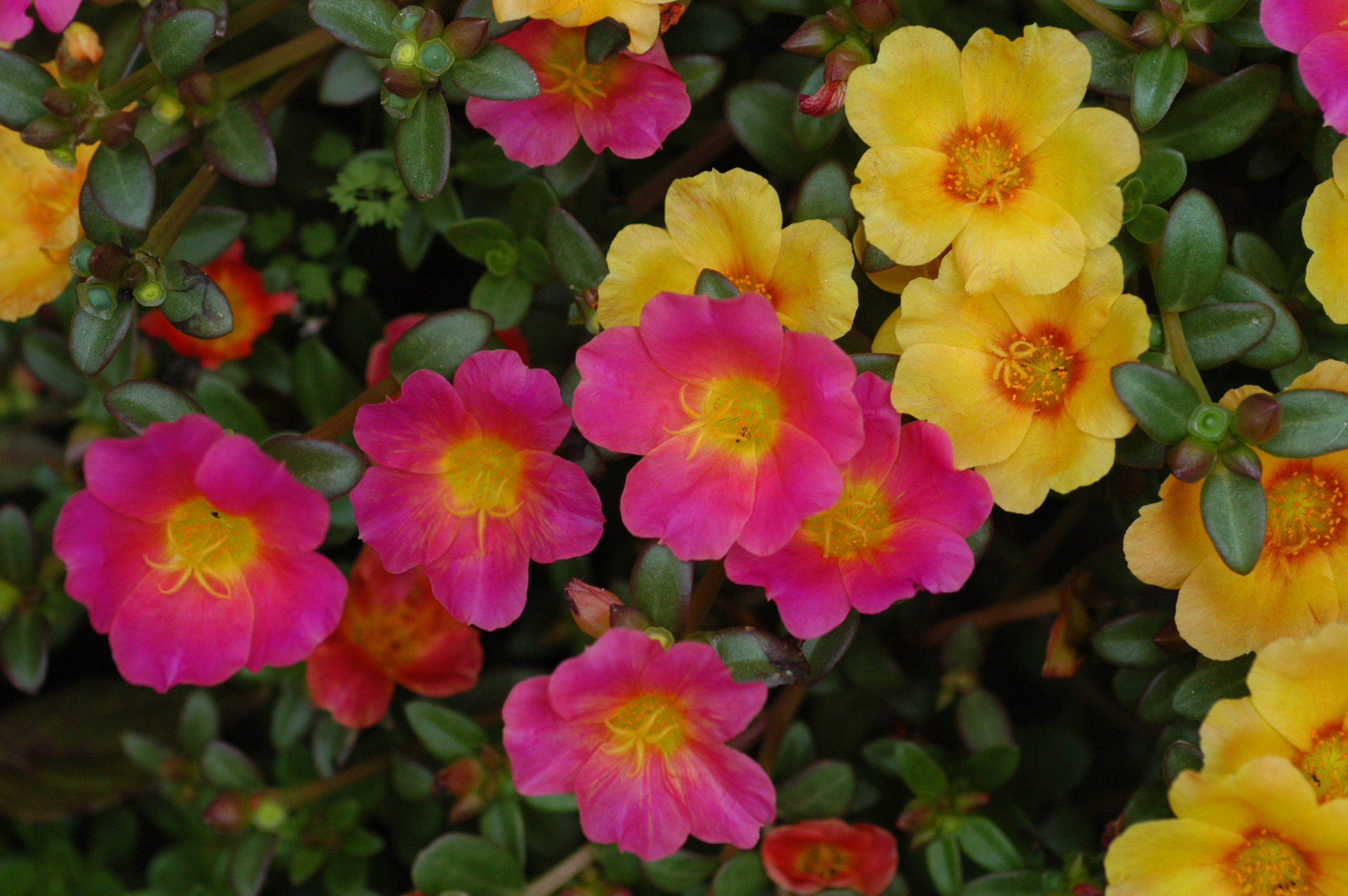 English: Portulaca sp. in full flower in pots ...