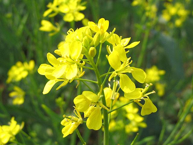 File:Yellow mustard flower.jpg