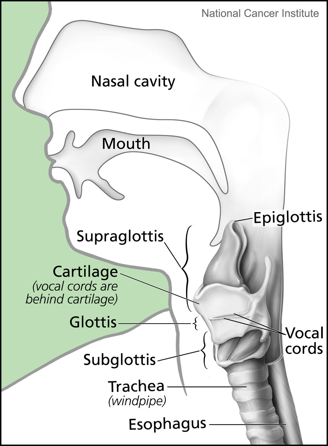 parts of the throat diagram 2009 hyundai accent radio wiring file larynx and nearby structures jpg wikimedia commons