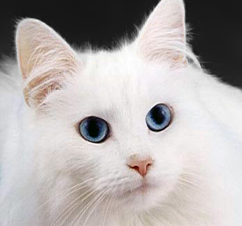 https://i0.wp.com/upload.wikimedia.org/wikipedia/commons/b/b2/WhiteCat.jpg