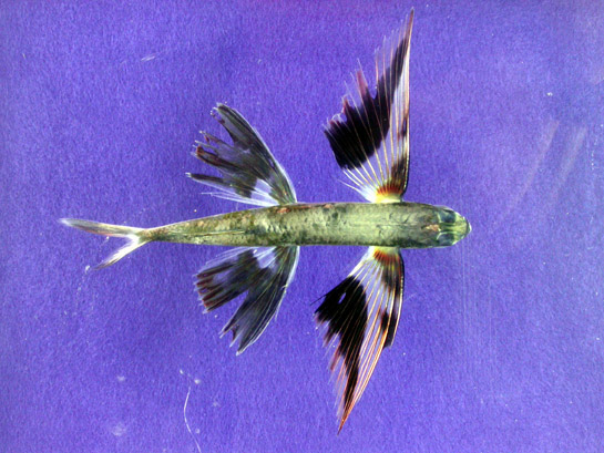 Archivo:Band-wing flyingfish.jpg
