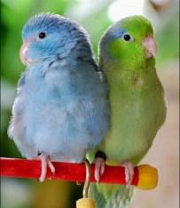 Vrapcoliki papagaj.