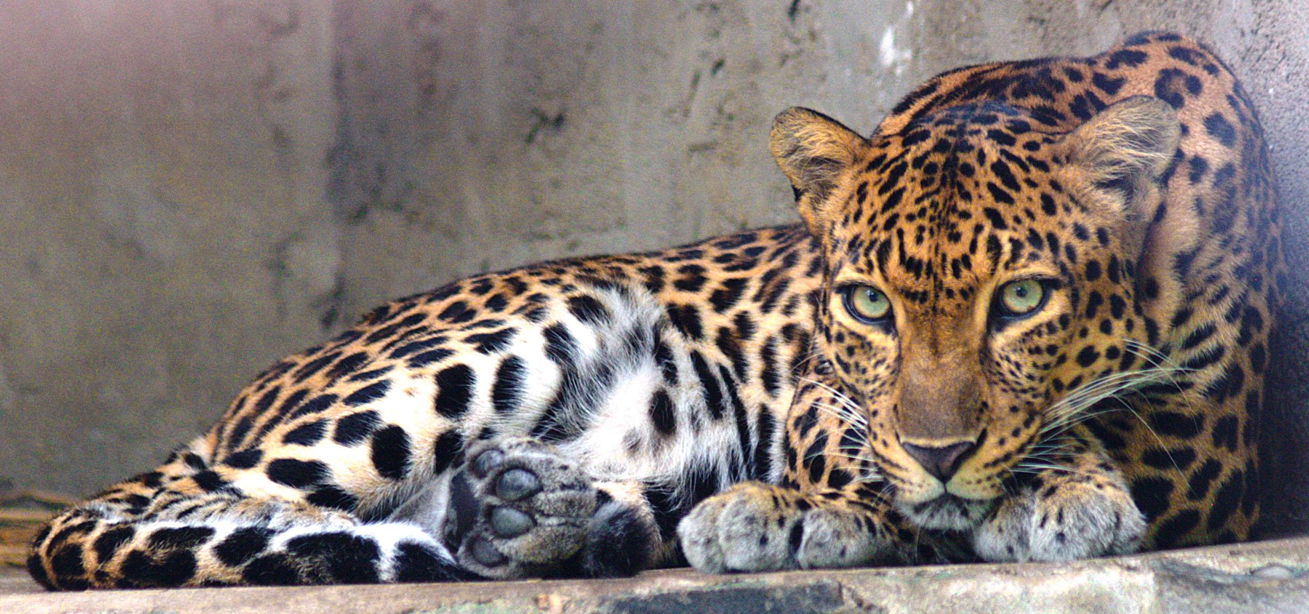 indochinese leopard wikipedia