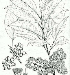 syzygium cumini [ 1189 x 1732 Pixel ]