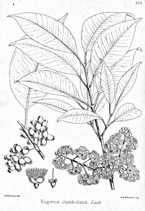 small resolution of syzygium cumini