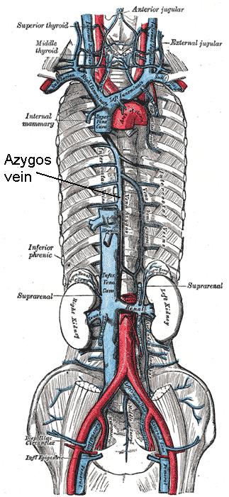 abdominal aorta diagram 1999 mitsubishi canter wiring vena azygos – wikipedia