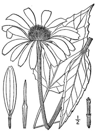 https://i0.wp.com/upload.wikimedia.org/wikipedia/commons/b/b4/Echinacea.purpurea02.jpg?resize=312%2C422