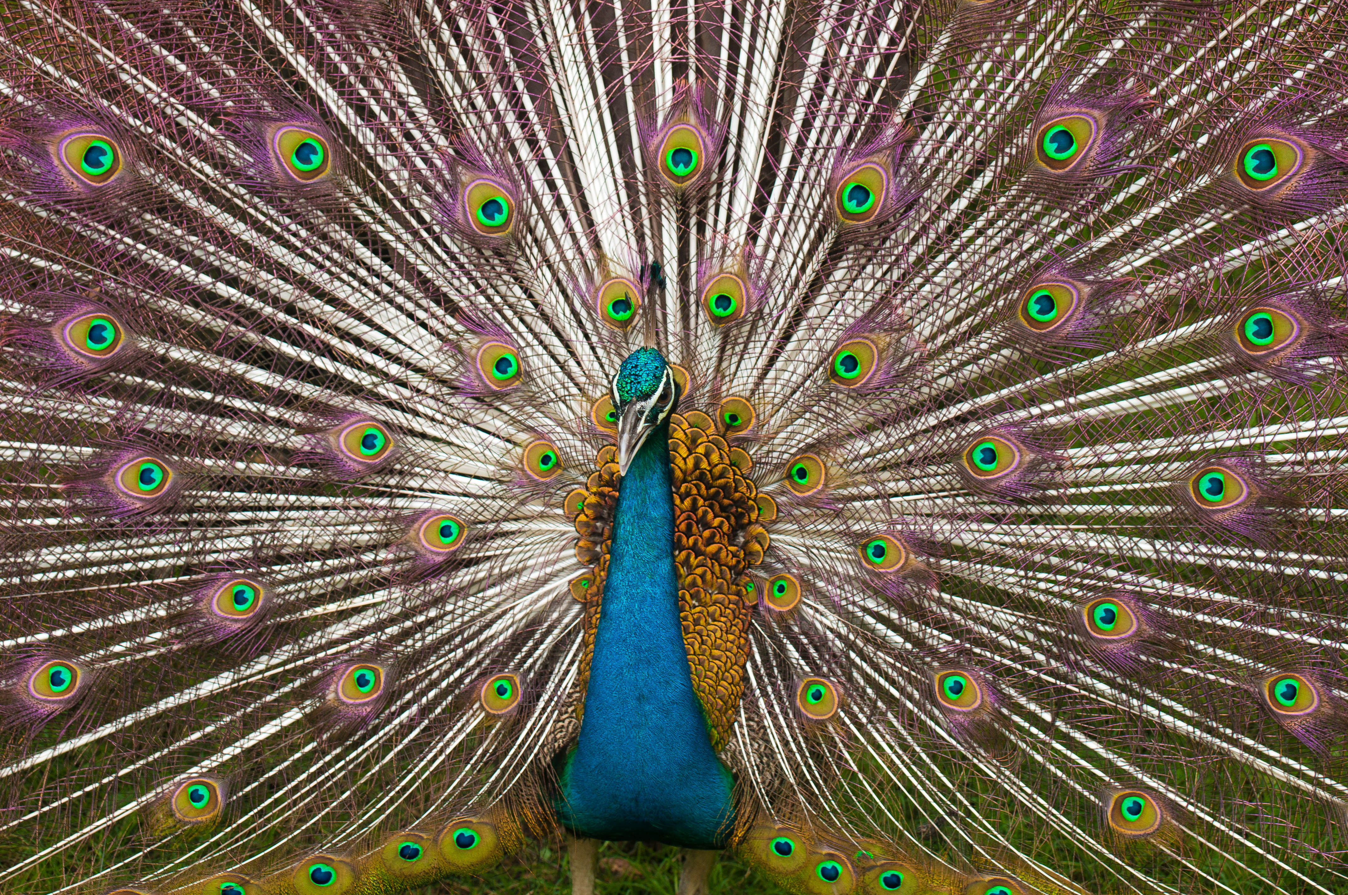 Peacock Feathers And Peacock Wedding Centerpieces