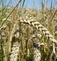 diagram of a wheat plant [ 2592 x 1944 Pixel ]