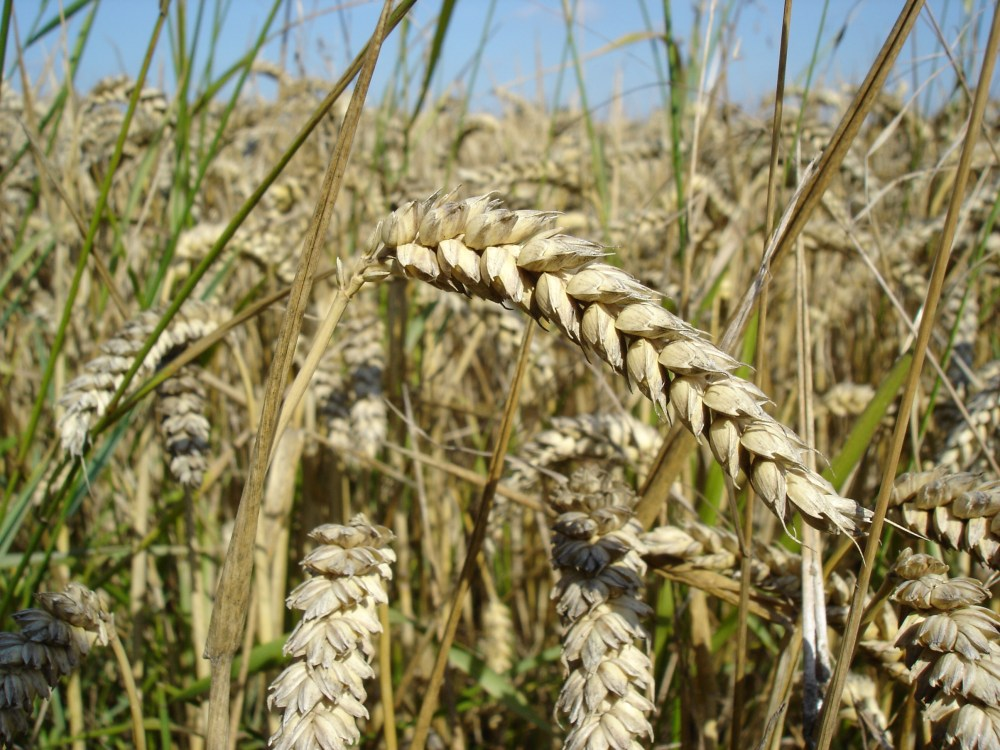 medium resolution of diagram of a wheat plant