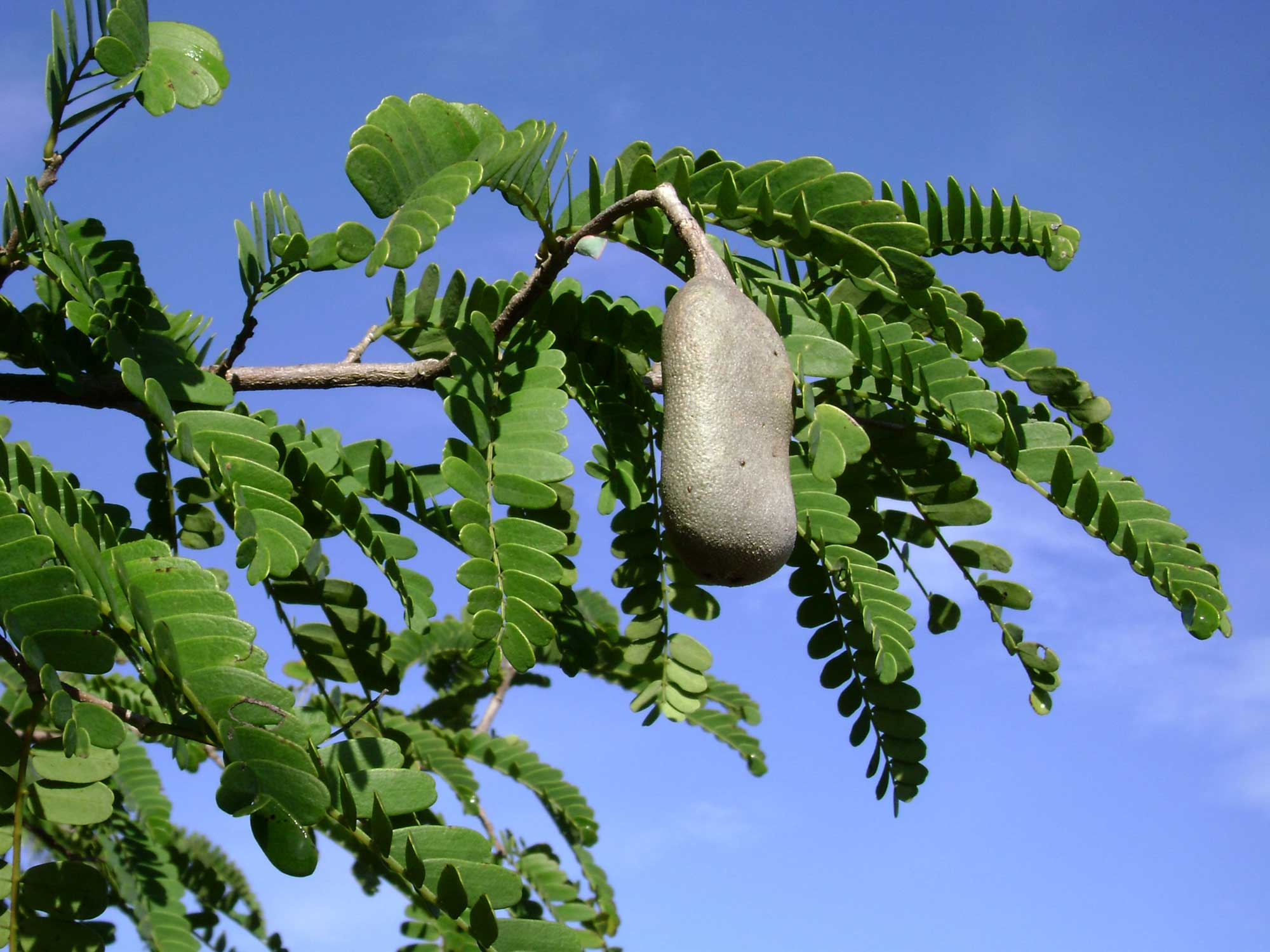https://i0.wp.com/upload.wikimedia.org/wikipedia/commons/b/b5/Tamarindus_indica%2C_leaves%2C_pod.jpg