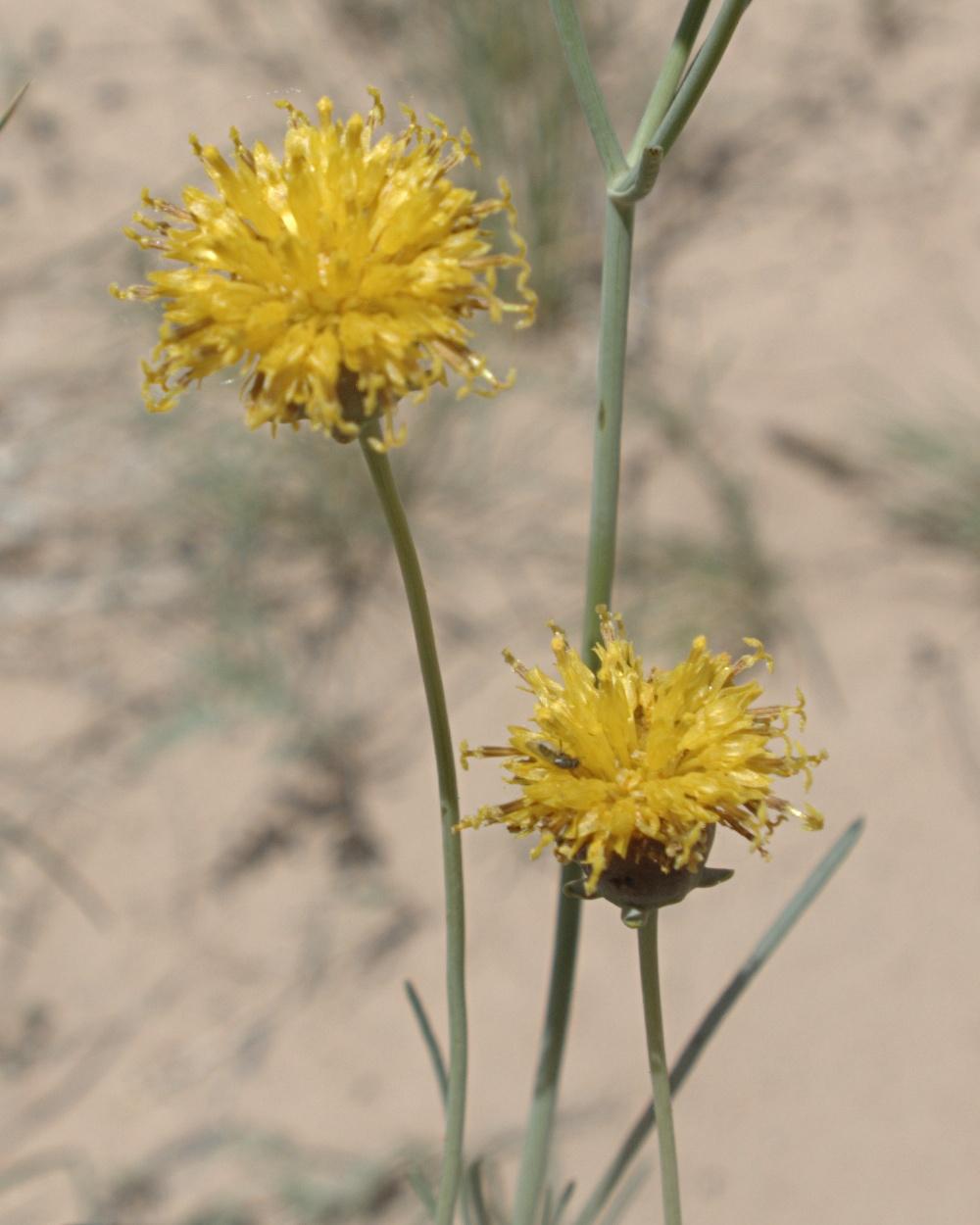 Thelesperma megapotamicum  Wikipedia
