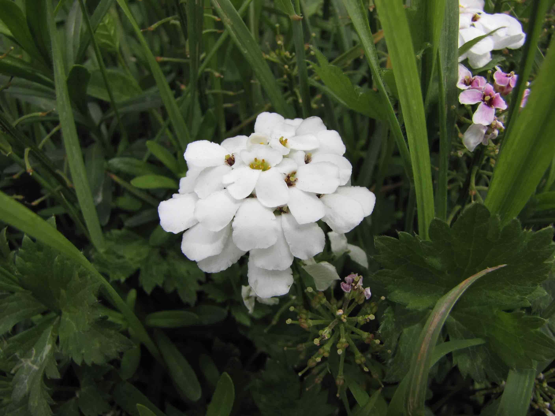 File:屈曲花 Iberis sempervirens Snowflake -巴黎植物園 Jardin des Plantes. Paris- (9229879904).jpg - Wikimedia Commons