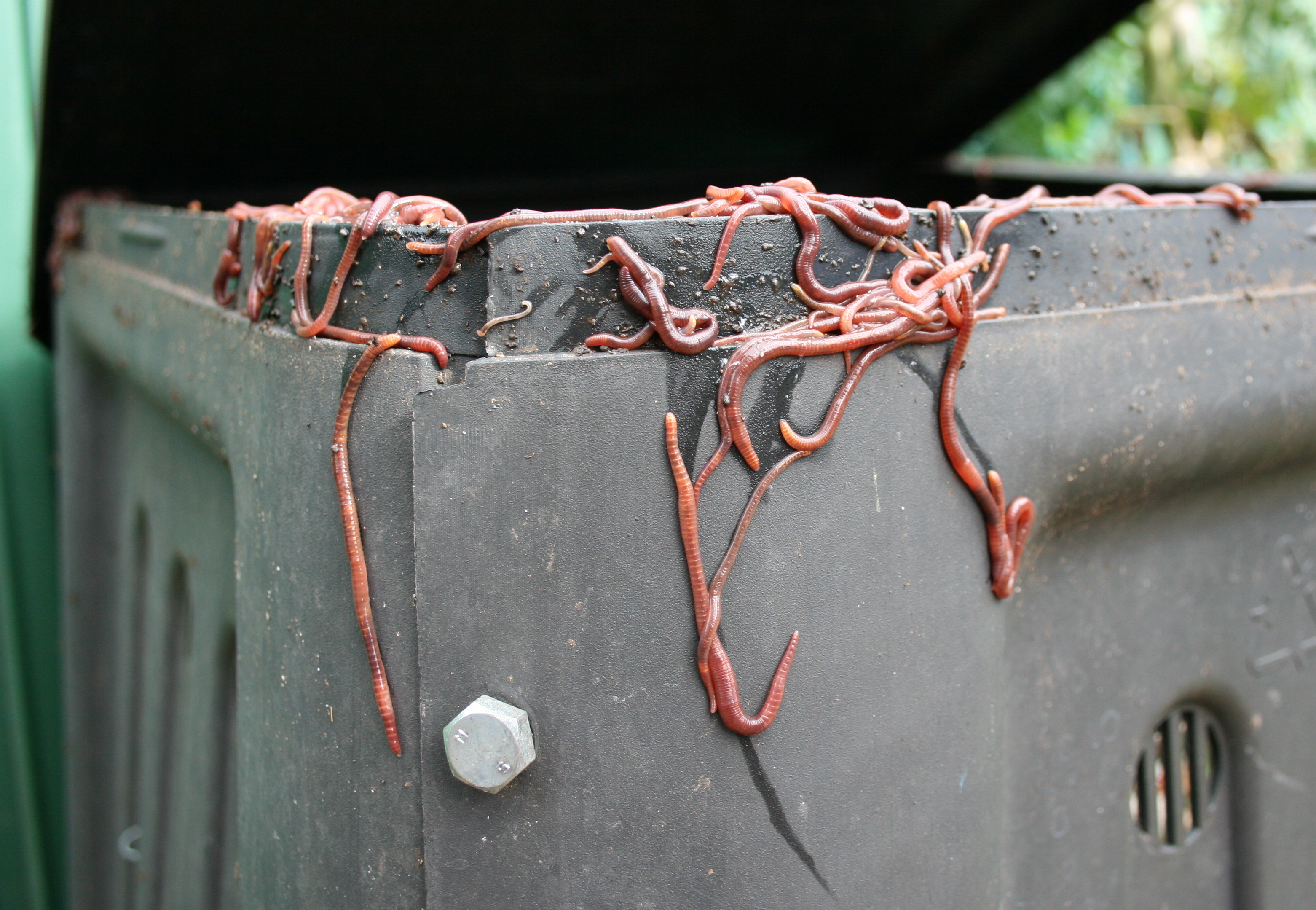 Eisenia fetida on compost bin