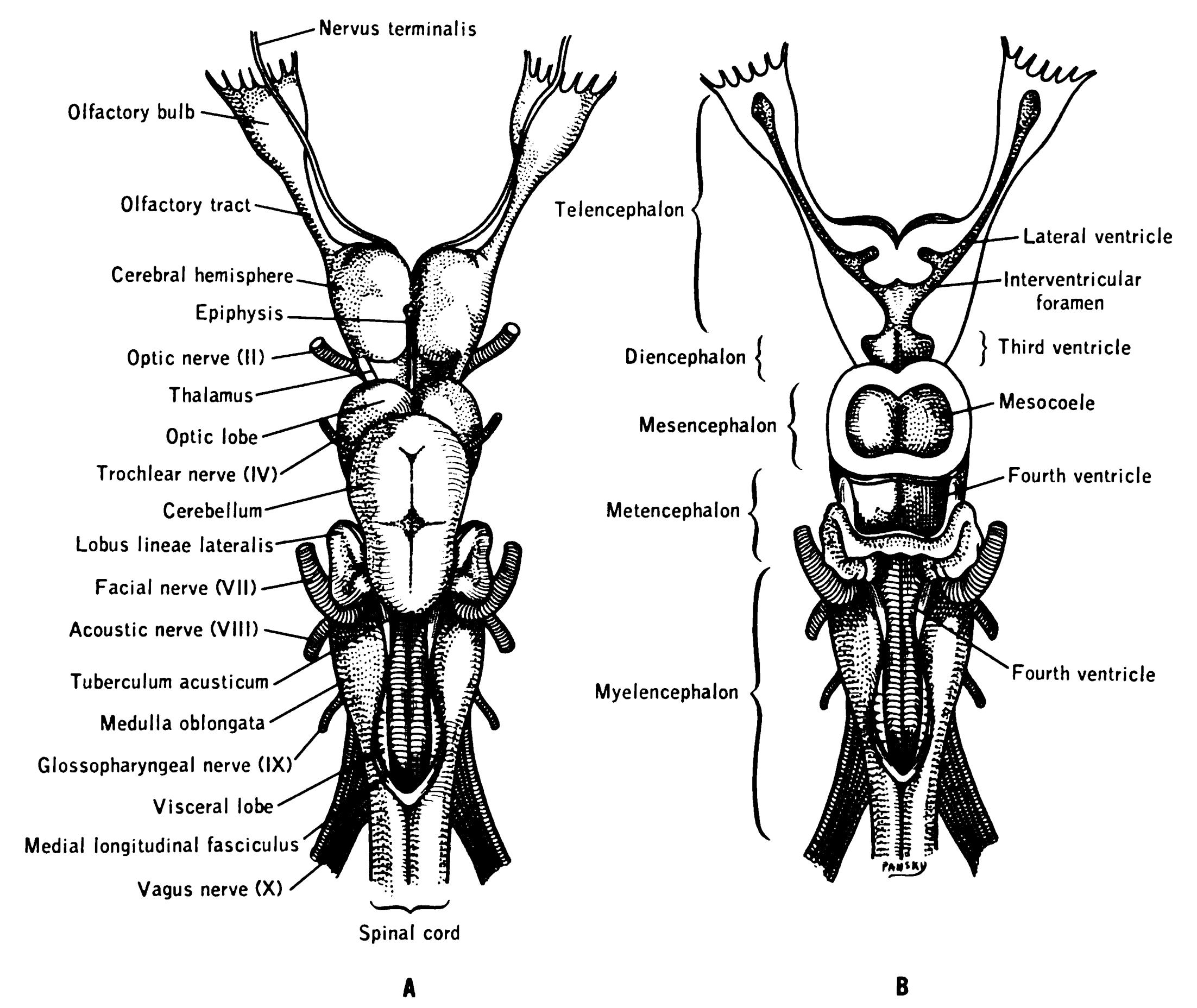 Terminal Nerve