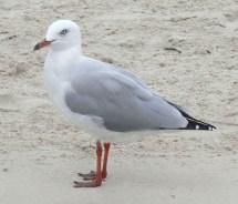 Silver Gull Beach