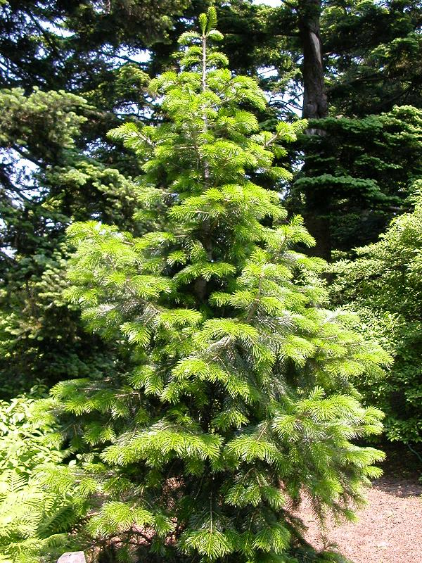 Abies pindrow  Wikipedia
