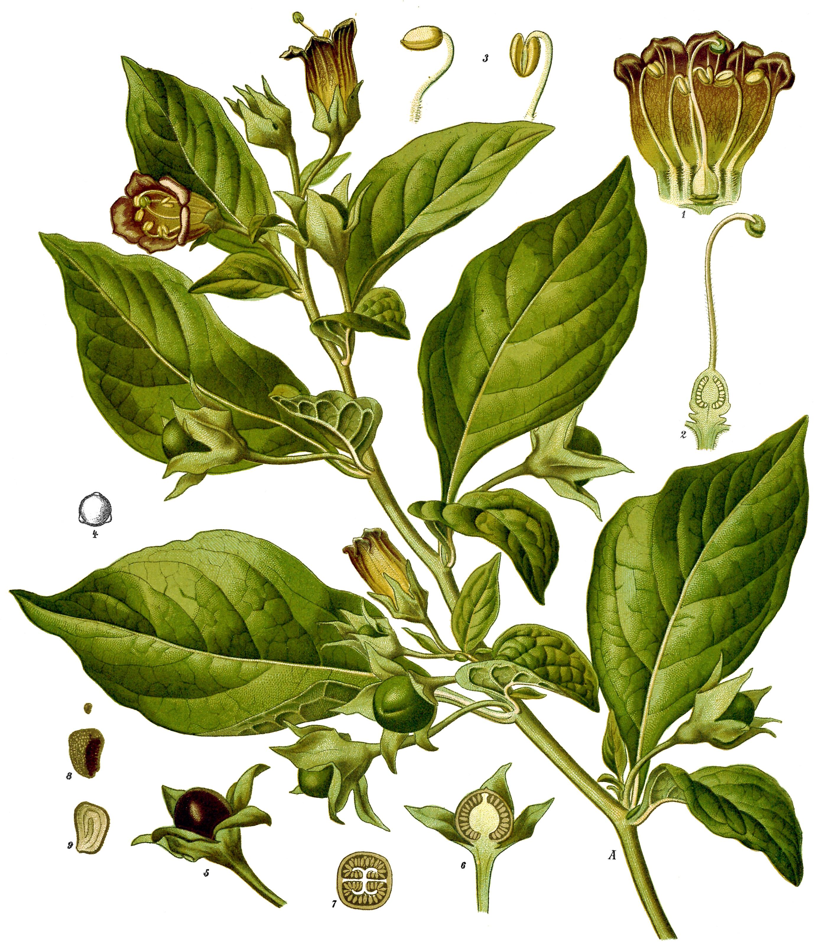 Belladona image