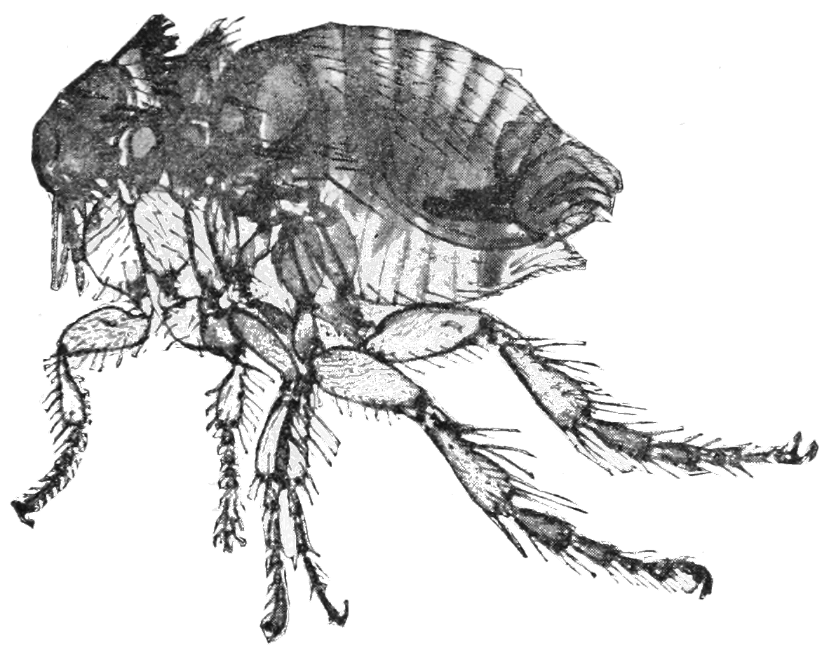Rabbit flea