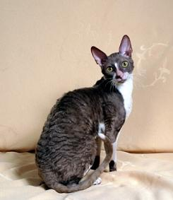 Photo of a Cornish Rex Cat