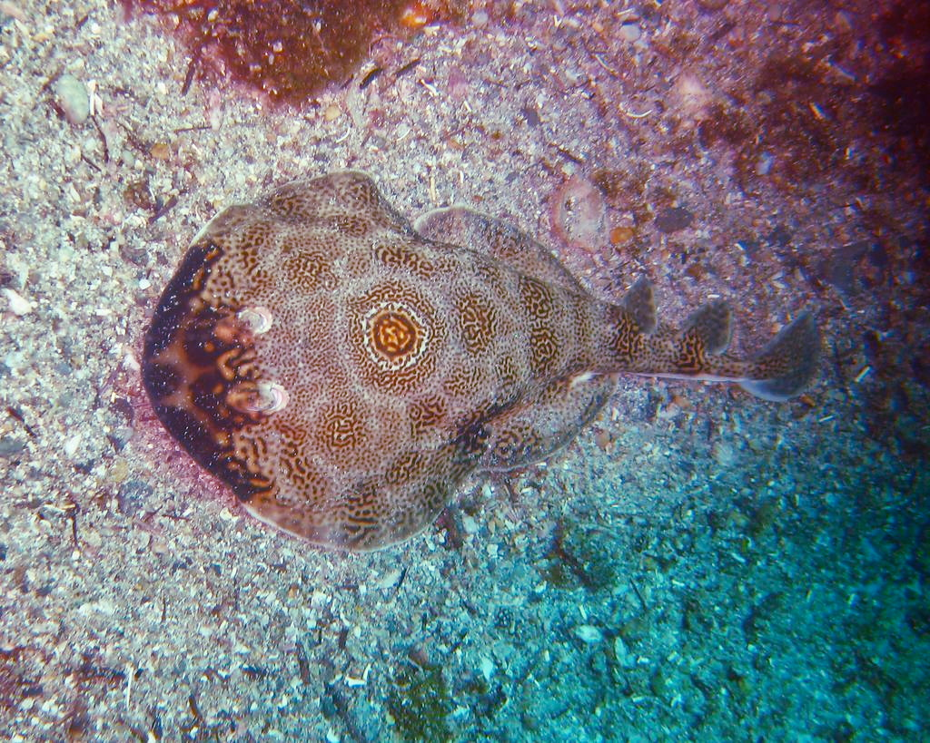 Ocellated electric ray  Wikipedia