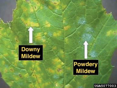 Image result for powdery mildew images