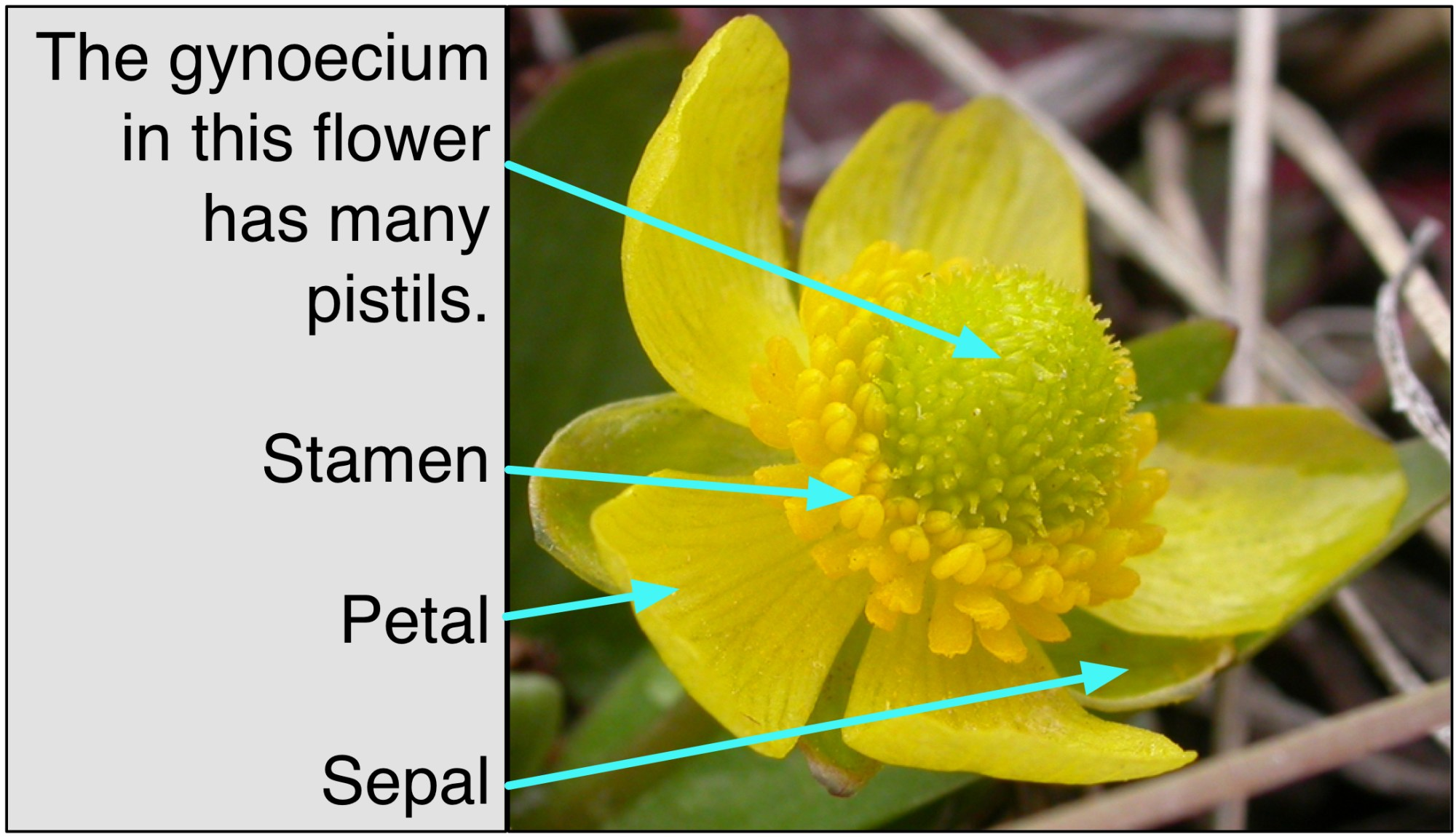 hight resolution of file gynoecium diagram for simple wikipedia jpg