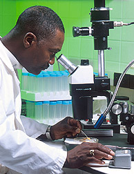 Scientist using a stereo microscope outfitted ...