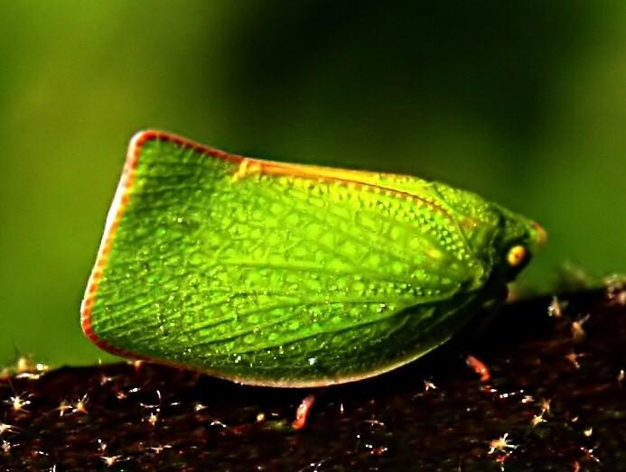 Insect Planthopper, Siphanta acuta mimics a leaf