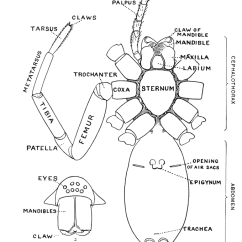 External Grasshopper Diagram Street Rod Wiring Epigyne - Wikipedia