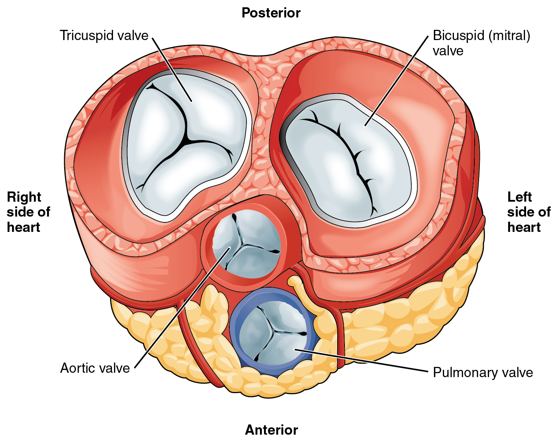 interior heart diagram b16a obd0 wiring wikipedia valves