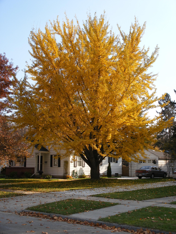 銀杏樹種植 - 銀杏樹種植  - 快熱資訊 - 走進時代